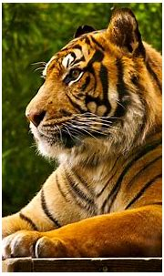 Free download Best 35 Bengal Tiger Pictures and Wallpapers ...