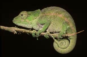 a light in the darkness chameleon totem animal