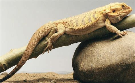 bearded dragon diet habitat info pictures facts