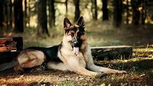 German Shepherd Puppies Wallpaper Hd 1 Cool Hd Wallpaper ...