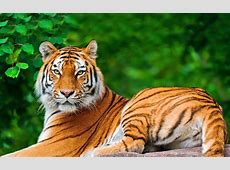 Tiger In A Green Forest HD Animals and Birds Wallpapers