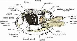 Scallop Anatomy