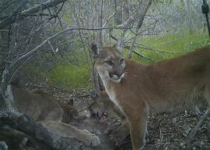 A highway runs through it: Mountain lions in southern ...