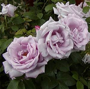 Mainzer Fastnacht Rose : la mia perla pagina 2 forum di ~ Orissabook.com Haus und Dekorationen