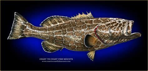 fish grouper mount mounts taxidermy