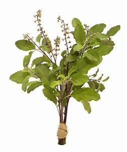 TULSI - India's Sacred Herb.....'Holy Basil'