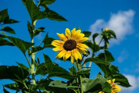 keren  gambar keren bunga matahari gambar bunga hd