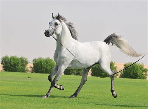arabian horses  ready  win   heart