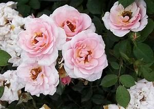 Kletterrose New Dawn : rose 39 white new dawn 39 wei e kletterrose halbschatten ~ Michelbontemps.com Haus und Dekorationen