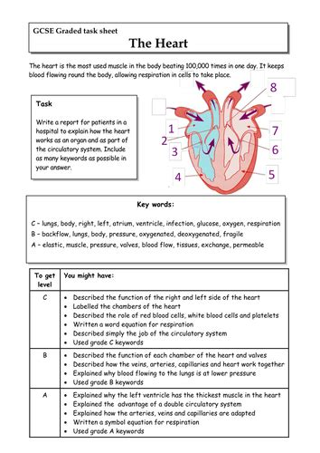 heart gcse graded task lat ocr  biology  rs