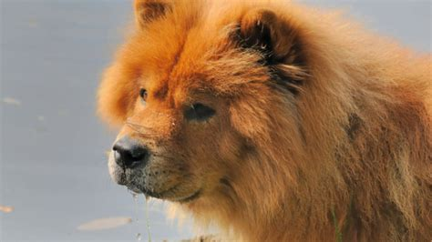 fluffy facts  chow chows mental floss