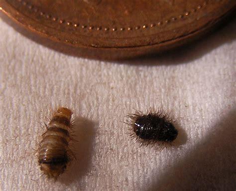carpet beetle larvae  canada whats  bug