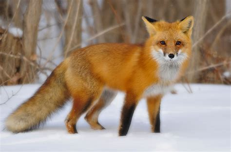 best fox pictures fox and coyotes maine s dogs a nature program at woodlawn woodlawn museum