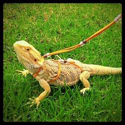Baby Bearded Dragon Leash