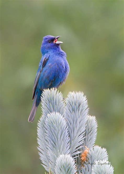 indigo bunting birds pinterest