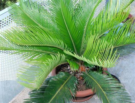 palmier en pot pour balcon palmier en pot comment le choisir et le cultiver