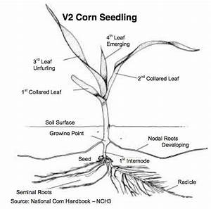 Corn Replanting Guidelines