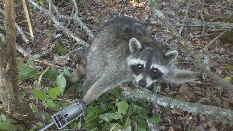 How To Catch A Raccoon In My Backyard by Squirrel It S What S Gonna Be For Dinner Ar15