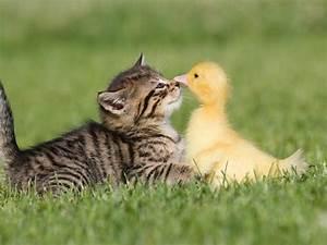 Kitten and duckling. - Pixdaus
