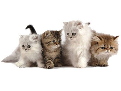 Kitten Backgrounds by Free Kitten Wallpapers Wallpaper Cave