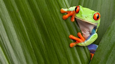Red Eyed Tree Frog Facts And Pictures National