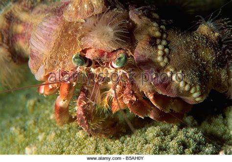 decorator crabs and sea sponges decorator crabs stock photos decorator crabs stock