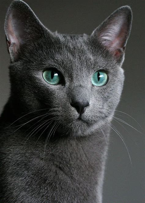 Most Affectionate Cat Breeds That Make You Fall In Love