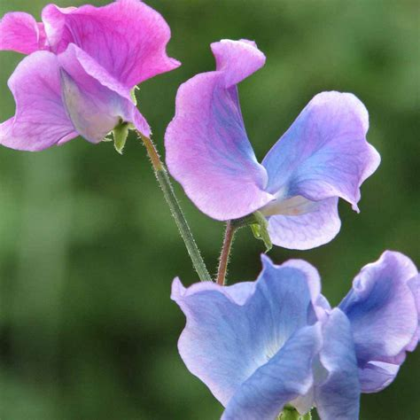 photos of sweet pea flowers free sweet pea garden seeds gratisfaction uk
