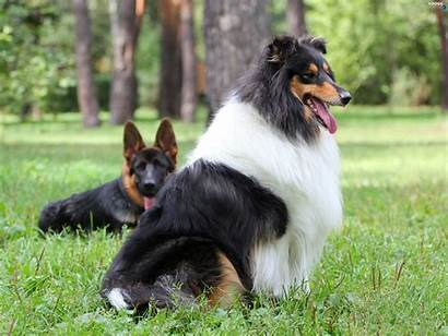 Dogs Collie Wallpapers Animals Dog Natural Perros