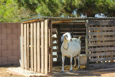 raising nubian goats ultimate guide  beginners boer