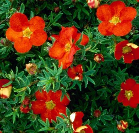 Potentilla fruticosa 'Red Ace' Parastā klinšrozīte ...