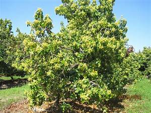 100+ [ Fruit Trees In South Florida ] 18 Species Of