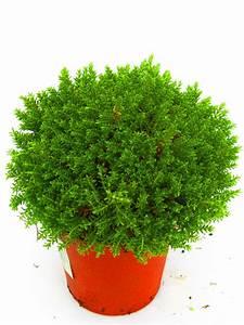 Pflanzen Immergrün Winterhart : hebe armstrongii green globe kaufen bestellen online harro 39 s pflanzenwelt ~ Markanthonyermac.com Haus und Dekorationen