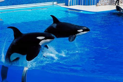 What Happens To Orca Whales In Captivity?