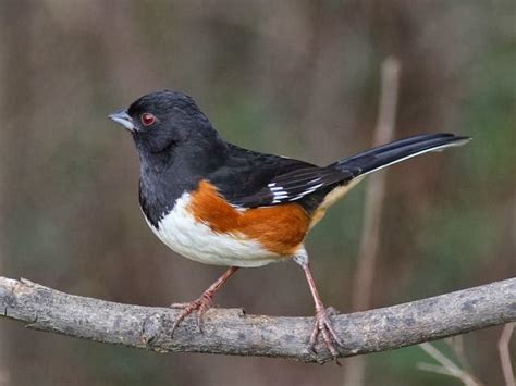world beautiful birds eastern towhee birds facts