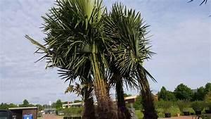Pflanztopf Für Palmen : winterharte palmen kaufen winterharte palmen f r garten ~ Lizthompson.info Haus und Dekorationen
