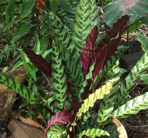 calathea insignis aka rattlesnake plant plants