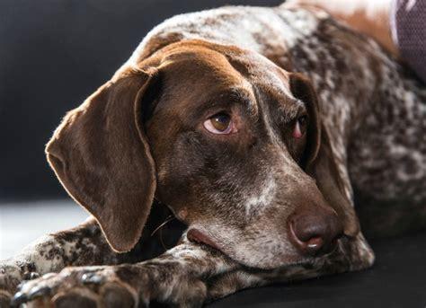 steroid responsive meningitis arteritis  dogs petmd