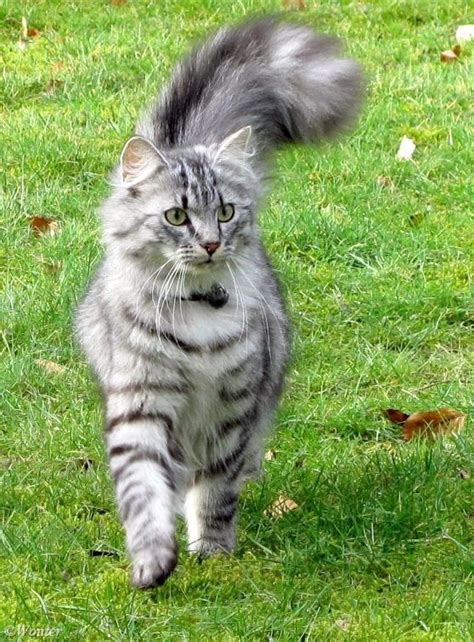 Do Maine Coons Shed Their Mane by 40 Best Maine Coon Cats Images On