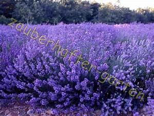 Echter Lavendel Kaufen : echter lavendel winterhart lavendelsamen kr uter der provence gew rz 120 samen ebay ~ Eleganceandgraceweddings.com Haus und Dekorationen