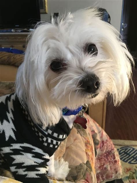 ideas  maltese dogs  pinterest baby