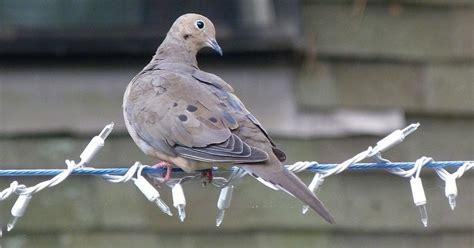the mourning dove bird backyard birding