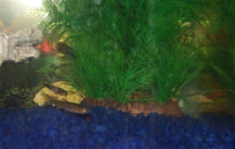 minnows in the hydroponic tank