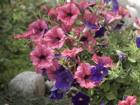 Petunien Garten Pflanzen by Petunien Pflege Aussaat Und R 252 Ckschnitt Im Sommer