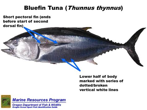 tuna eye thunnus bluefin species thynnus fish bigeye yellow tunas game fishing names body liver internal coincidences juego coincidencias ft