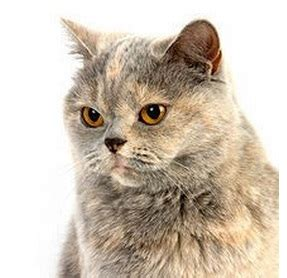 tortoiseshell cat cat breeds encyclopedia