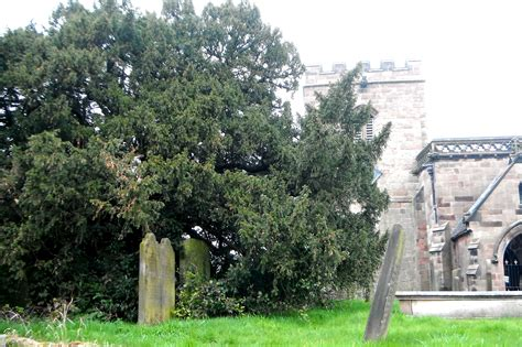 pruning yew trees draycott s most ancient yews draycott in the moors website