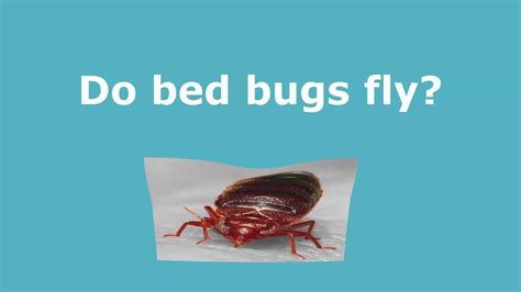 Do Bed Bugs Hop by Do Bed Bugs Fly Live Experiment