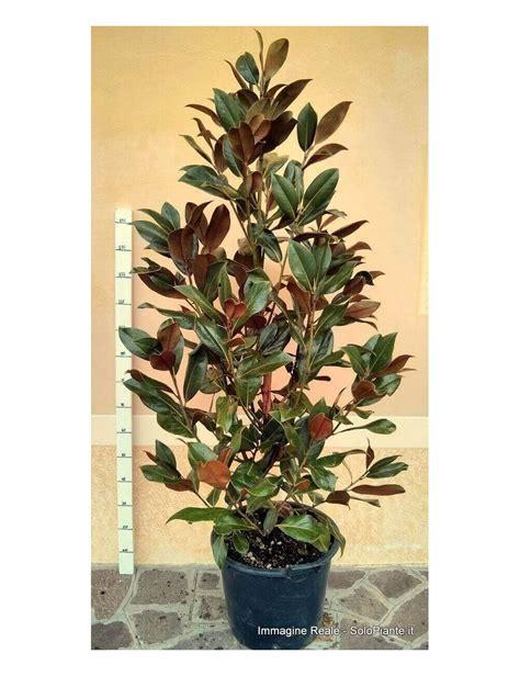 magnolia in vaso magnolia grandiflora gallisoniensis vendita piante on