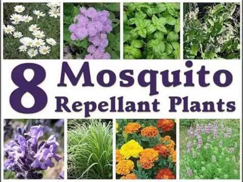 mosquito repellent plant philippines wild plants for mosquito repellant